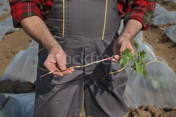Weed in watermelon or melon field Stock photo © simazoran