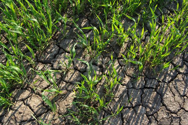 農業 喉が渇いた 麦畑 春 ひびの入った 土地 ストックフォト © simazoran
