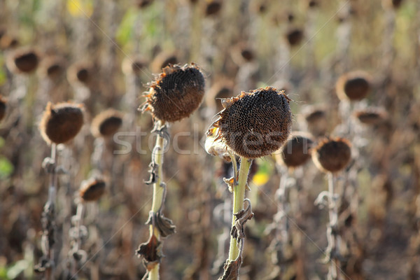 Climate change, drought in sunflower field Stock photo © simazoran