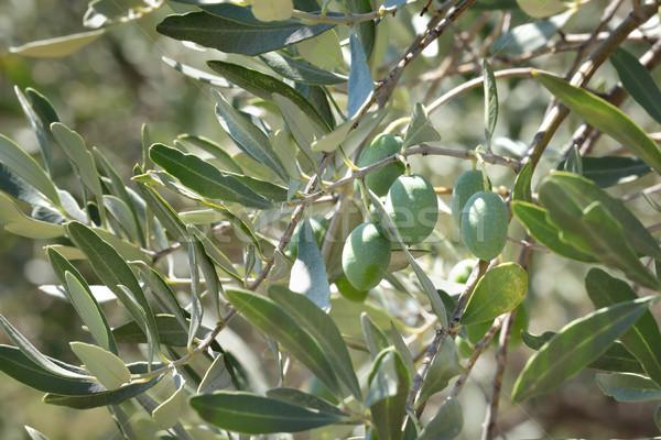 Stock photo: Olive tree branch