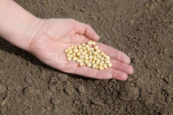 Mezőgazdaság emberi kéz tart szójabab vetés idő Stock fotó © simazoran