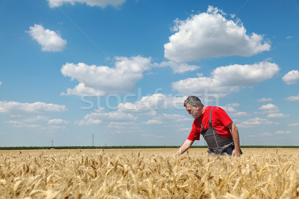 Stock fotó: Mezőgazdasági · jelenet · gazda · búzamező · mezőgazdaság · minőség