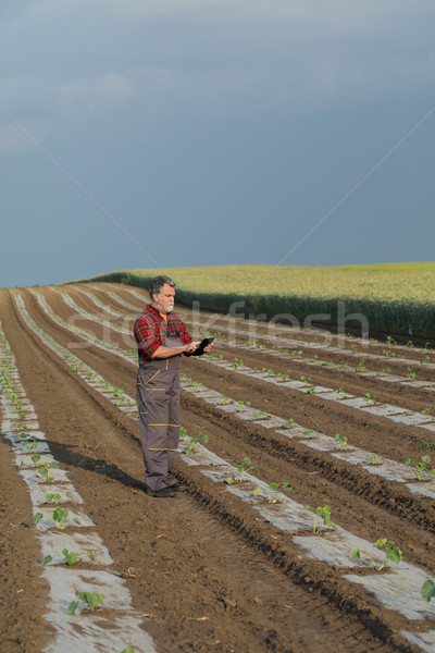 Melon planting in field, farmer working Stock photo © simazoran