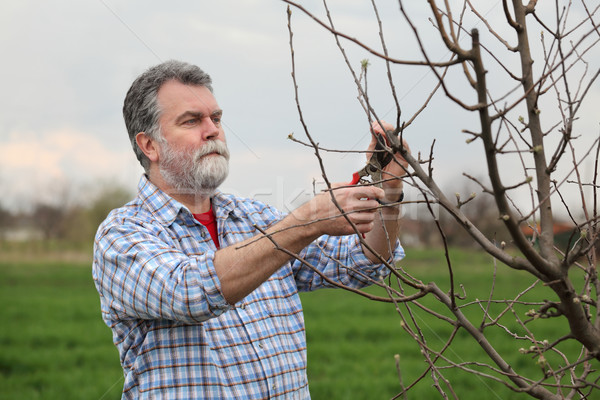 Worker pruning tree in orchard, agriculture Stock photo © simazoran
