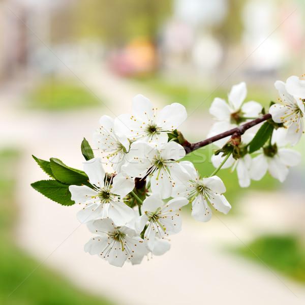 весны Cherry Blossom цветок фрукты зеленый Сток-фото © simazoran