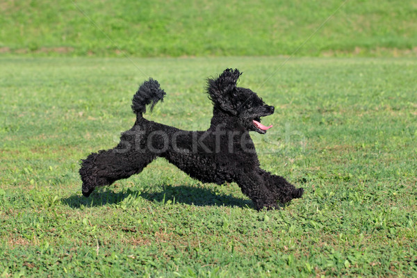 Animal caniche chien action noir Photo stock © simazoran
