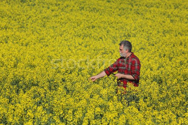 Farmer examining blossoming rapeseed field in spring Stock photo © simazoran