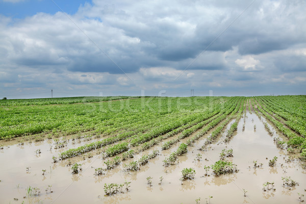 Agriculture, flooded soy field Stock photo © simazoran