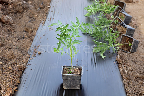 Agriculture, tomato plant Stock photo © simazoran