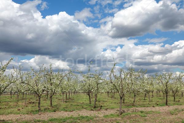 Landbouw pruim boomgaard voorjaar hemel Stockfoto © simazoran