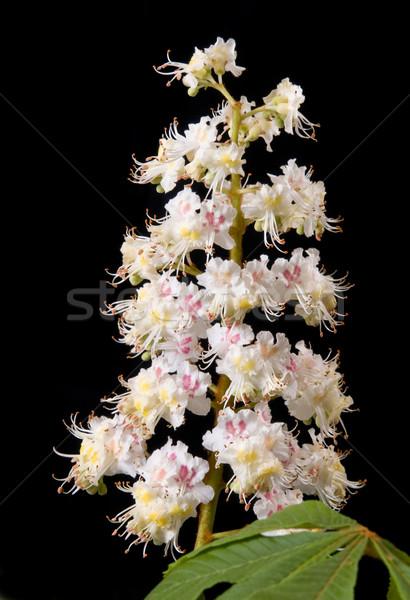 Chestnut flower Stock photo © simazoran