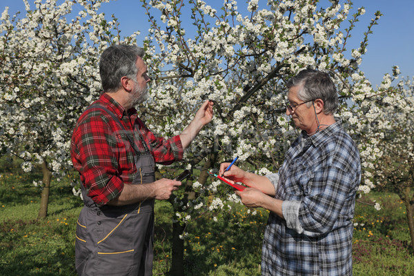 Farmer and agronomist in blossoming cherry orchard Stock photo © simazoran