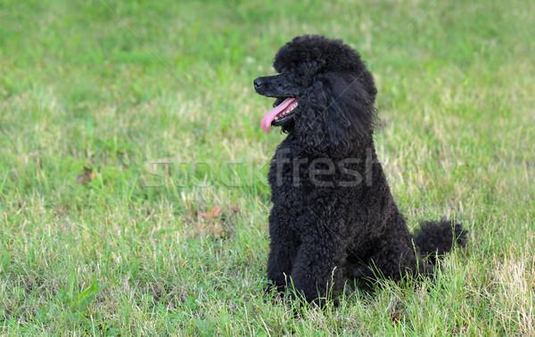 Evcil hayvan kaniş köpek doğa siyah oturma Stok fotoğraf © simazoran
