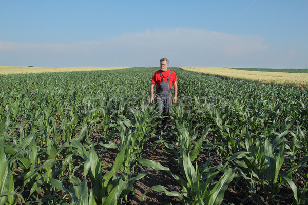 Agricultural scene, farmer in corn field Stock photo © simazoran