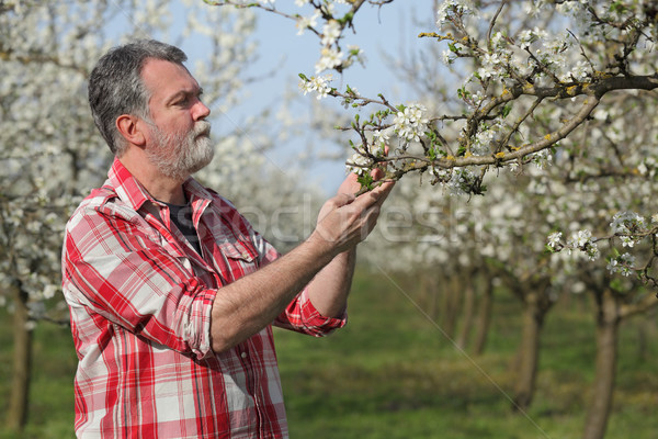 Farmer or agronomist in blooming plum orchard Stock photo © simazoran