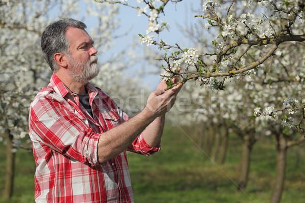Landbouwer pruim boomgaard onderzoeken Stockfoto © simazoran