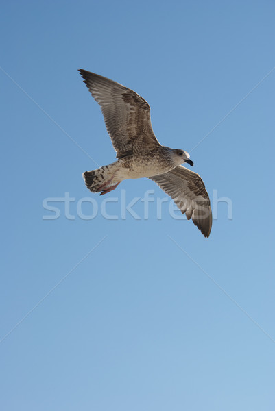 Seagull Stock photo © simazoran