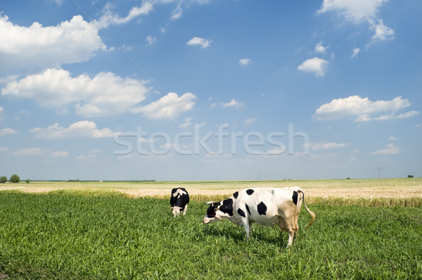 Foto stock: Vacas · dois · campo · blue · sky · branco · nuvens