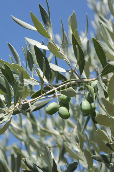 Olive tree branch  Stock photo © simazoran