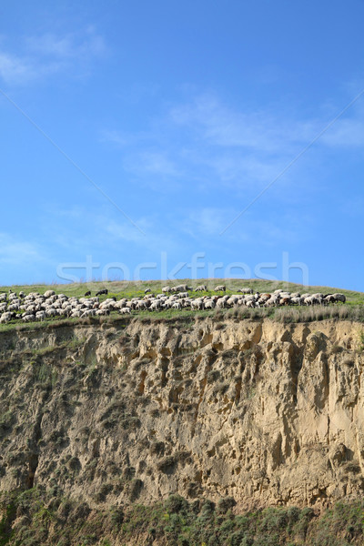Flock of sheep at berg Stock photo © simazoran