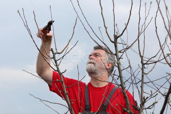 Man boom boomgaard volwassen voorjaar werken Stockfoto © simazoran