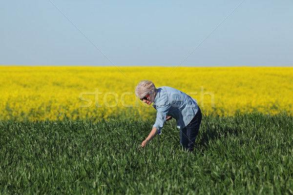 Agriculture, farmer examining wheat field with rapeseed plants i Stock photo © simazoran
