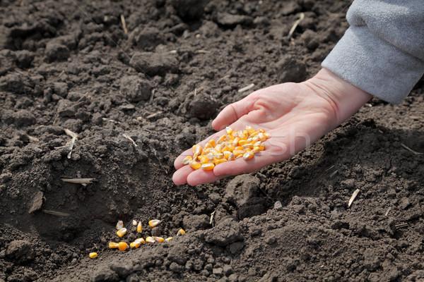 Landbouw mais zaaien menselijke hand zaad Stockfoto © simazoran