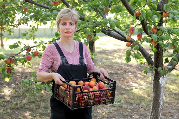 農業 農家 アプリコット 女性 ストックフォト © simazoran