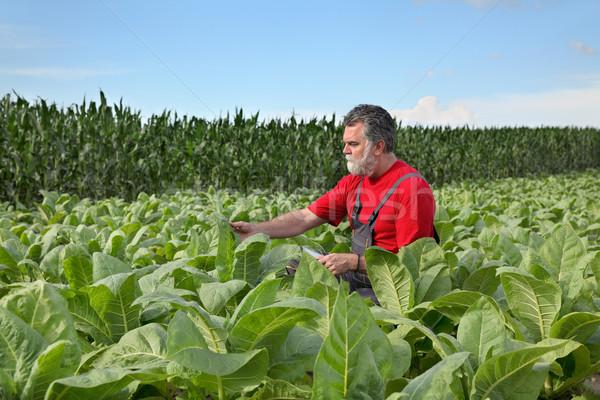 Agriculteur tabac domaine usine vert industrie Photo stock © simazoran