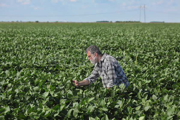 Farmer examining green soybean plants in field Stock photo © simazoran