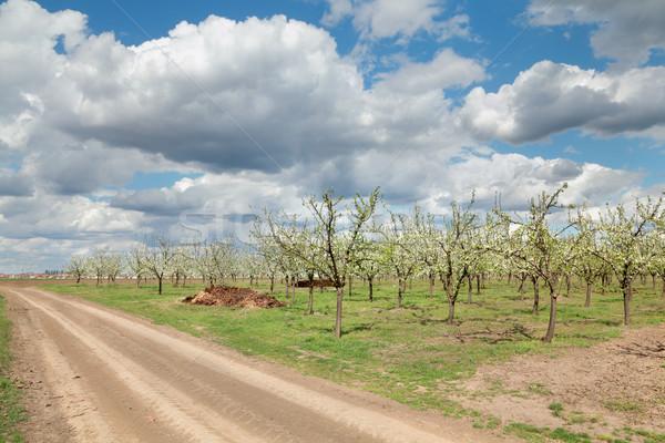 Agricultura ameixa poeirento primavera Foto stock © simazoran