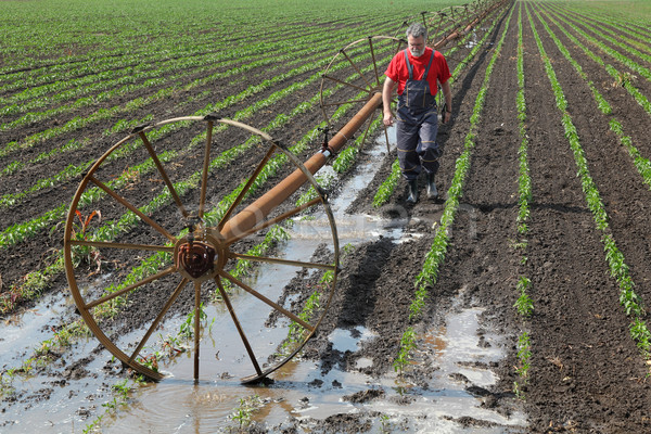 Agriculture, farmer in paprika field with watering system Stock photo © simazoran