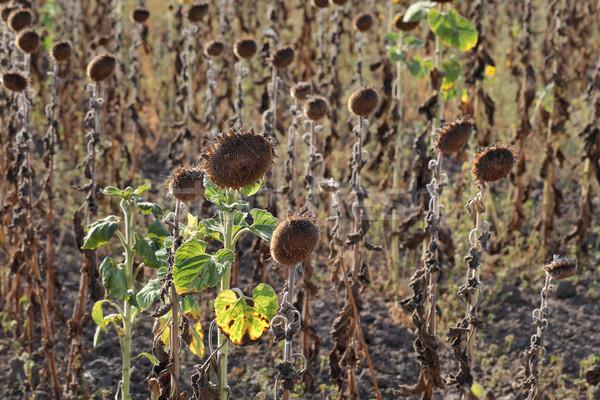 Klimaatverandering droogte zonnebloem veld natuurlijke ramp Stockfoto © simazoran