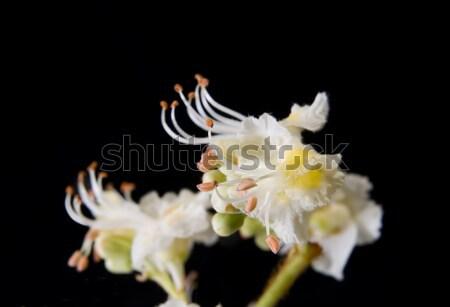 Aesculus  hippocastanum Stock photo © simazoran