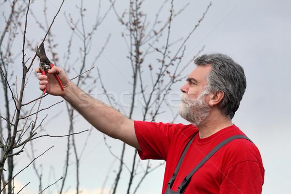 Man pruning tree in orchard Stock photo © simazoran