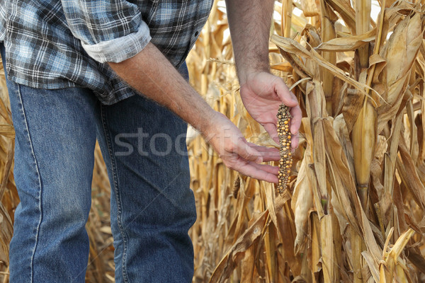 Agricultural scene, farmer or agronomist inspect damaged corn fi Stock photo © simazoran