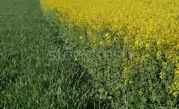 Rapeseed and wheat plants field Stock photo © simazoran