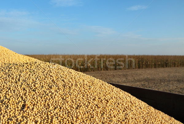 Soy bean harvest Stock photo © simazoran