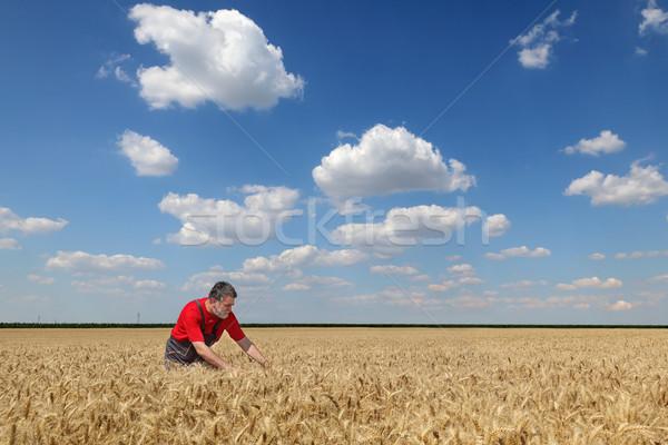 Agriculture, farmer in wheat field Stock photo © simazoran