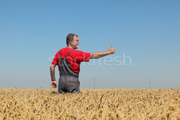 Agriculture, farmer gesturing in wheat field with thumb up Stock photo © simazoran