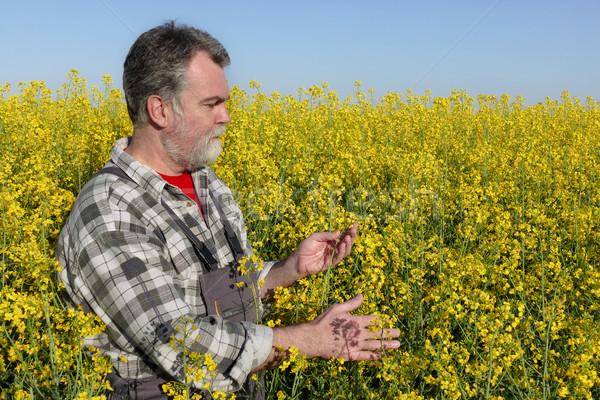 Farmer in blossoming canola, oil seed field Stock photo © simazoran