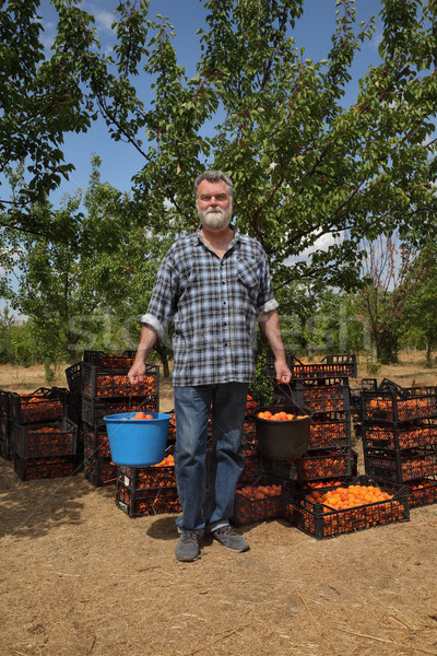 Agriculture, farmer in apricot orchard Stock photo © simazoran
