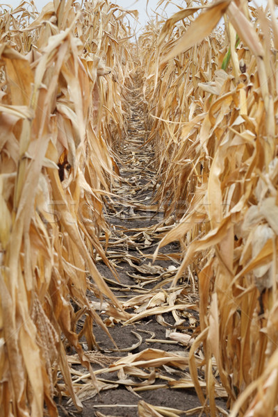 Corn field Stock photo © simazoran