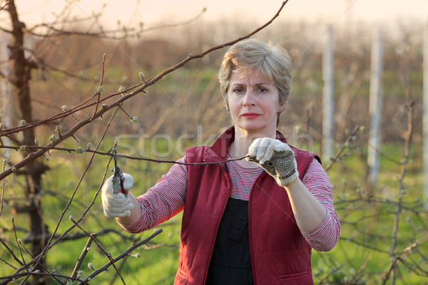 Agriculture, pruning in orchard, adult woman working Stock photo © simazoran