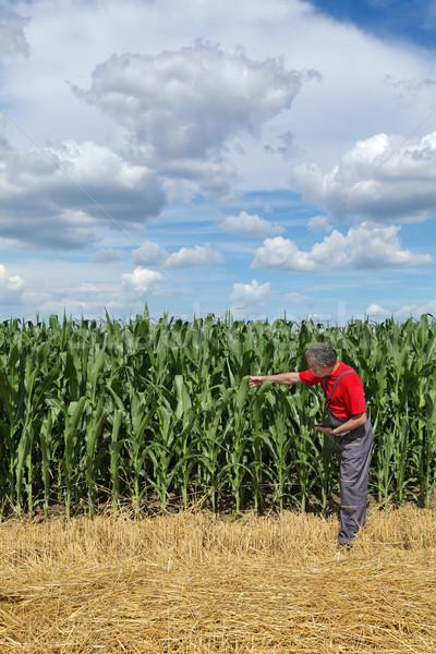 Agriculture, farmer in corn field Stock photo © simazoran