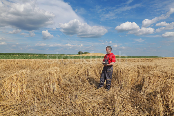 Farmer or agronomist inspect damaged wheat field Stock photo © simazoran
