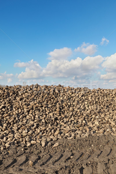 Agriculture, sugar beet, root harvesting in field Stock photo © simazoran