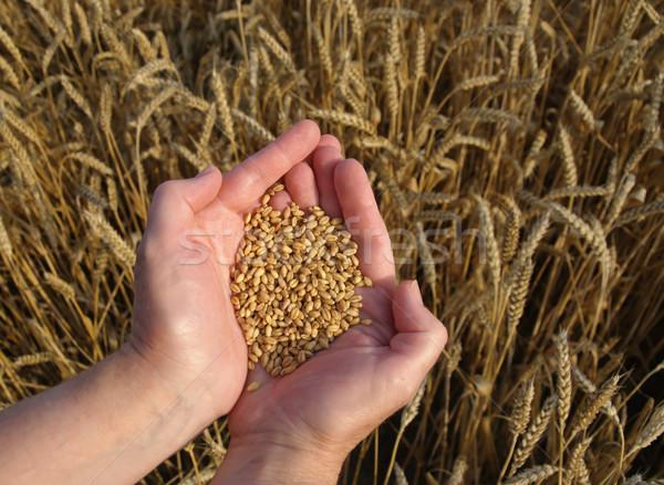 Wheat  Stock photo © simazoran