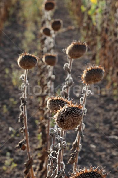 Mudança climática seca naturalismo catástrofe girassóis campo Foto stock © simazoran