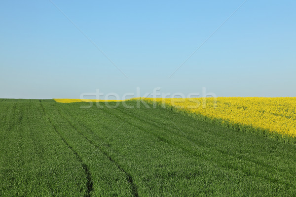 Stock photo: Wheat and rapeseed fields with blue sky in spring